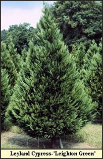 years to enhance and to preserve the environment planting trees on barren land where no other crops will grow and where no trees have grown before - How Long Does A Christmas Tree Take To Grow
