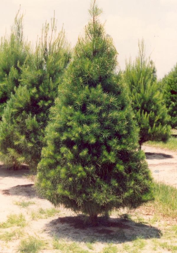 Florida Christmas Tree Association